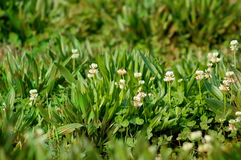 Closeup of Clover Growing in Field Stock Images