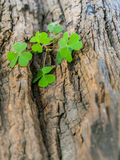 Closeup clover leaf . Royalty Free Stock Image