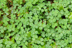 Closeup of clovers Royalty Free Stock Photo