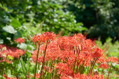 Closeup of cluster-amaryllis. Closeup of Lycoris radiata. It also known as red spider lily, red magic lily or cluster-amaryllis. The plant is originally from stock photography