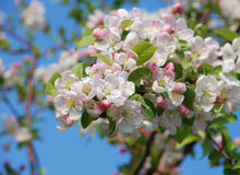 Closeup of a cluster of crab apple blossom Stock Images