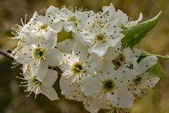 Closeup of a Cluster Flowering Cherry Blossoms. Close-up of a cluster white flowering cherry blossoms located in the Blue Ridge Mountains of Virginia, USA stock images