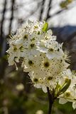 Closeup of Cluster Flowering Cherry Blossoms. Close-up of clusters white flowering cherry blossoms located in the Blue Ridge Mountains of Virginia, USA royalty free stock photo