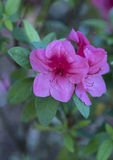 Closeup of a cluster of pink Azaleas Stock Photo