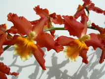 Closeup on a cluster of red orchids Stock Image