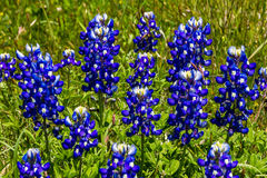 Closeup of a CLuster of Texas Bluebonnet Wildflowers. Royalty Free Stock Photos