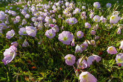 A Closeup of a Cluster of Texas Pink Evening Primrose Wildflowers in Late Sun. Stock Image
