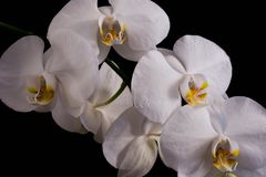 White Orchids on Black Background Royalty Free Stock Photos