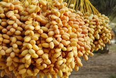 Closeup of the cluster of yellow dates Royalty Free Stock Photos