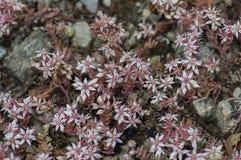 Closeup of clusters tiny pink bloom sedum hispanicum or stonecrop flowers, Sofia Royalty Free Stock Image