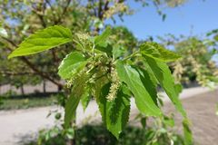 Closeup of clusters of yellowish green male flowers of mulberry. Close up of clusters of yellowish green male flowers of mulberry royalty free stock photography