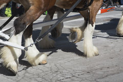 Closeup of Clydesdale Horses, St. Patrick's Day Parade, 2014, South Boston, Massachusetts, USA Royalty Free Stock Photos