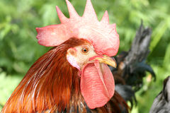 Closeup of a Cock Head. Royalty Free Stock Photo