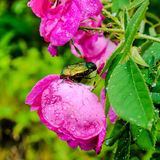 Closeup of cockchafer sitting on a pink flower rose with raindro Stock Photography