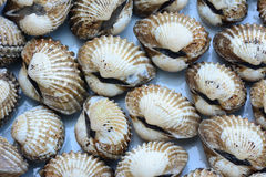 Closeup of cockles(scallop) for food background Royalty Free Stock Photo