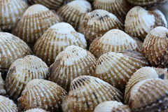 Closeup of cockles(scallop) for food background Stock Images