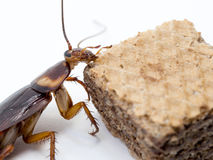 Closeup cockroach on the chocolate wafer. Royalty Free Stock Photo
