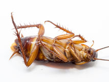 Closeup cockroach show details all of body on a white background ISOLATED. Stock Images