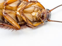 Closeup cockroach show details since mid body to the head on a white background ISOLATED. Royalty Free Stock Image