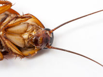 Closeup cockroach show details since mid body to the head on a white background ISOLATED. Royalty Free Stock Photography