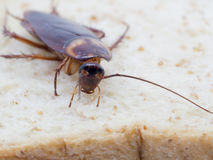 Closeup cockroach on the whole wheat bread. Royalty Free Stock Images