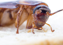 Closeup cockroach on the whole wheat bread. Royalty Free Stock Image