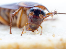 Closeup cockroach on the whole wheat bread. Cockroaches are carriers of the disease Stock Images