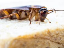Closeup cockroach on the whole wheat bread. Cockroaches are carriers of the disease Royalty Free Stock Images