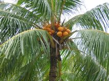 Closeup Coconut Palm Tree. A coconut palm tree in Singapore bearing abundant fruit Stock Images