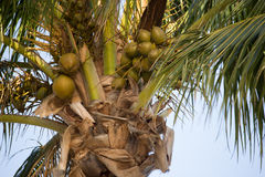 Closeup of a Coconut Palm Tree Royalty Free Stock Photography