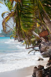 Closeup coconut Palm Tree in the wind on white Royalty Free Stock Photos