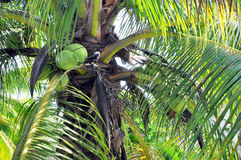 Closeup of Coconut Palm trees, Nuts & Bird Royalty Free Stock Image