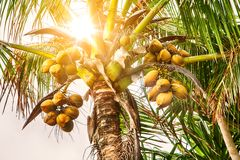 Closeup of coconut tree with coconuts. In the sunlight Stock Images