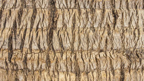 Closeup coconut tree sureface texture. Backgrounds Royalty Free Stock Image