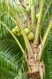 Closeup of Coconut Tree Royalty Free Stock Photos