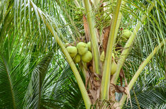 Closeup of Coconut Tree Stock Images