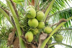 Coconuts on the coconut tree. Closeup of Coconuts on the coconut tree Royalty Free Stock Photography