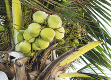 Closeup of Coconuts on the coconut tree Stock Photo