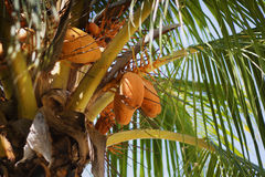 Closeup of coconuts on coconut tree. Indonesia. Coconut tree with coconut clusters with bright sunlight in leaves Royalty Free Stock Photography