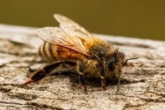 Closeup of a cold honey bee Apis mellifera with dew on its hair stock image