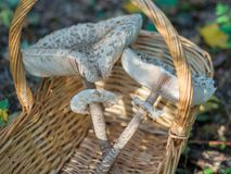 Closeup of collected edible parasol mushrooms or macrolepiota procera outdoors in basket, Berlin, Germany Stock Photography