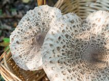 Closeup of collected edible parasol mushrooms or macrolepiota procera outdoors in basket, Berlin, Germany Royalty Free Stock Photos