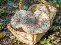 Closeup of collected edible parasol mushrooms or macrolepiota procera outdoors in basket, Berlin, Germany Stock Photos