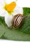 Closeup of Colorado potato beetle Royalty Free Stock Photo