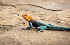 African lizard in Kenya. Closeup of colorful african lizard in Kenya stock photos