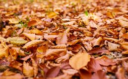 Closeup of fallen leaves. Closeup of colorful autumn fallen leaves Stock Images
