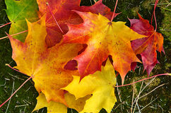 Closeup of colorful autumn leaves Stock Image