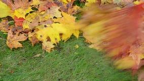 Closeup colorful autumn maple tree rake red raker stock video