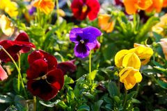 Closeup of colorful blossom pansy flowers in the park. Pansies are plants cultivated for garden. Summer, flowers. Background royalty free stock photos