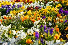 Closeup of colorful blossom pansy flowers in the park. Pansies are plants cultivated for garden. Summer, flowers. Background stock photo